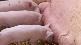 Porcellini che allattano la scrofa della madre stock footage