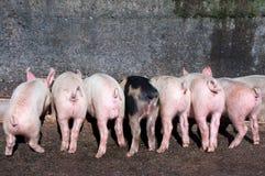 Porcellini che mangiano alla depressione Fotografie Stock