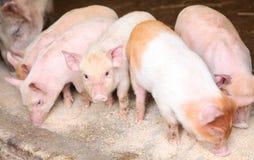 Porcellini che mangiano risciacquatura Immagini Stock Libere da Diritti