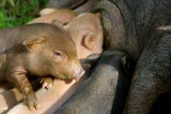Porcellini che mangiano un'alimentazione Immagine Stock Libera da Diritti