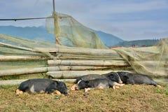 Porcellini di sonno PA del Sa vietnam Fotografia Stock Libera da Diritti