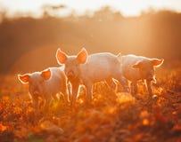 Porcellini felici che giocano in foglie al tramonto Immagini Stock Libere da Diritti