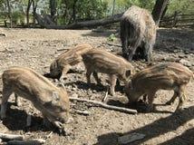 Porcellini selvaggi Fotografia Stock