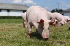 Porcellini sull'azienda agricola Piccola famiglia dei porcellini Animali domestici adorabili Immagini Stock