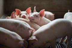 Porcellini svegli nell'azienda agricola di maiale Fotografia Stock