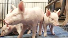 Porcellini in un porcile stock footage