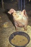 Porcellino che mangia, fiera della contea di Los Angeles, Pomona, CA Immagini Stock Libere da Diritti