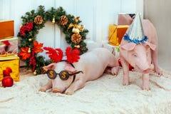 Porcellino del maiale poca erba felice del fondo del nuovo anno sveglio di vimini bianco della razza festa di compleanno rossa di immagine stock