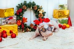 Porcellino del maiale poca erba felice del fondo del nuovo anno sveglio di vimini bianco della razza festa di compleanno rossa di fotografie stock libere da diritti