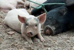 Porcellino dell'azienda agricola Immagini Stock Libere da Diritti