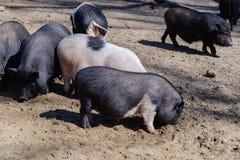 Porcellino di porcellino della carne suina di agricoltura, alimento rurale fotografia stock