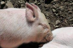 Porcellino nell'azienda agricola di maiale Immagini Stock