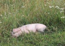 Porcellino nell'erba fotografie stock libere da diritti