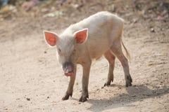 Porcellino rosa Fotografia Stock
