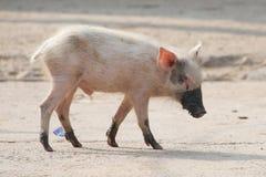 Porcellino rosa con i piedi ed il muso fangosi Immagine Stock