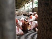 Porcellino sveglio in azienda agricola Fotografia Stock Libera da Diritti