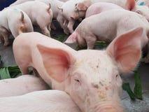 Porcellino sveglio in azienda agricola Fotografie Stock