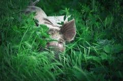 Porcellino sveglio che cammina sull'erba nel tempo di primavera Maiali che pascono me Immagine Stock Libera da Diritti