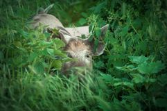 Porcellino sveglio che cammina sull'erba nel tempo di primavera Maiali che pascono me Fotografie Stock Libere da Diritti