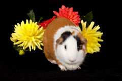 美国试验品(豚鼠属porcellus) 免版税库存图片