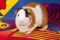 美国试验品(豚鼠属porcellus) 免版税库存照片