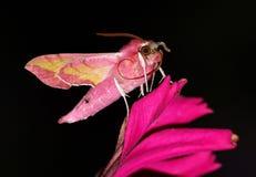 porcellus deilephila Стоковая Фотография RF