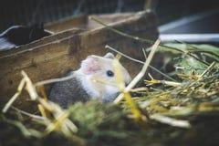 Porcellus del cavia del conejillo de Indias Fotos de archivo libres de regalías
