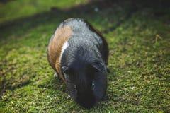 Porcellus del cavia del conejillo de Indias Imagen de archivo libre de regalías