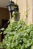 Porch light and vine. A vine climbs towards a porchlight on a sunny day Stock Photo