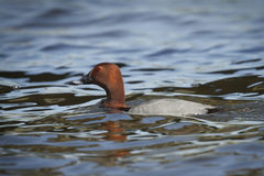 Porchard. A porchard duck swimming in a lake Royalty Free Stock Image