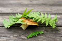 Porchino mashroom under green fern leave on wooden table Royalty Free Stock Photography