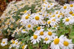Porción de flor de la manzanilla en el jardín Imagen de archivo libre de regalías