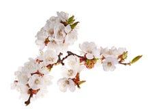 Porción de flores del cerezo en la ramificación Fotos de archivo libres de regalías