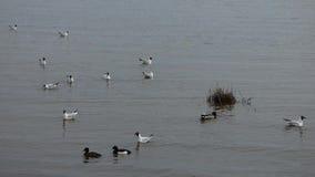 Porción de gaviotas que nadan y que vuelan sobre el agua almacen de metraje de vídeo