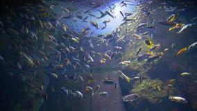 Porción de nadadas de los pescados en el acuario con los rayos ligeros, mundo subacuático profundo metrajes