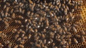 Porción de trabajo móvil del fondo de la apicultura del panal de las abejas que mueve en forma de vida la colmena miel del concep almacen de metraje de vídeo