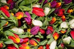 Porción de tulipanes coloridos Fotos de archivo libres de regalías