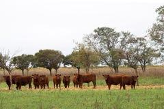 Porción de vacas Imagen de archivo libre de regalías