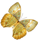 Porción hermosa de un ala más baja de la mariposa de Junglequeen del camboyano adentro Imagen de archivo