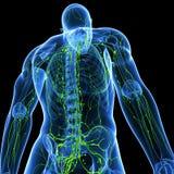 Porción trasera de sistema linfático masculino Foto de archivo libre de regalías