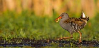 Porciglione - aquaticus di Rallus Fotografie Stock