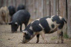Porcin à la ferme Image stock
