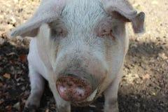 porcin images libres de droits
