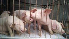 porcin Photographie stock libre de droits