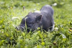 Porcin noir Photos libres de droits