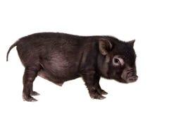 Porcin noir d'isolement sur le blanc Image stock