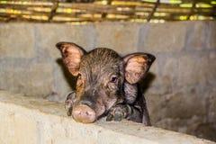 Porcin très mignon Photos stock