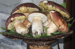 Porcine fungus. A view of a basket of porcines Royalty Free Stock Image