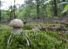 Porcini在叫作在森林wi的便士小圆面包的森林里采蘑菇 免版税图库摄影