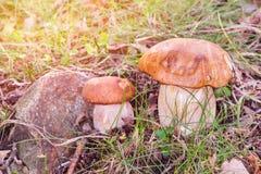 Porcini蘑菇,可食的牛肝菌蕈类 免版税库存照片
